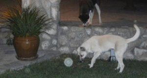 7c) (no book ref.3)My newest dog, Star, playing with an orb in our backyard.