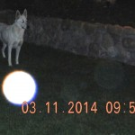 37) My dog, Spirit playing with an orb the size of a beach ball.